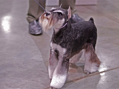 Miniature_Schnauzer_dogshow_Flickr